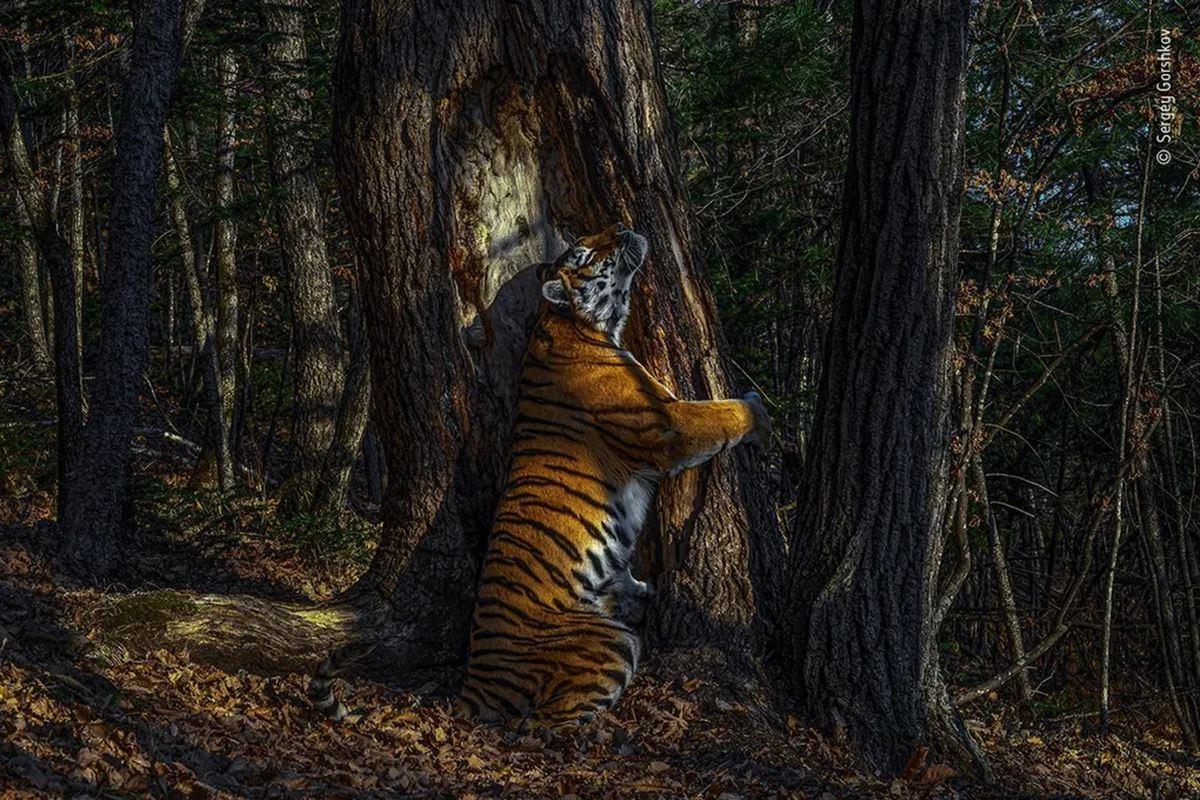 صورة لنمرة تعانق شجرة ، تفوز بجائزة 2020