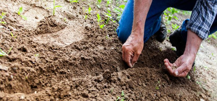 تنمو الترمس