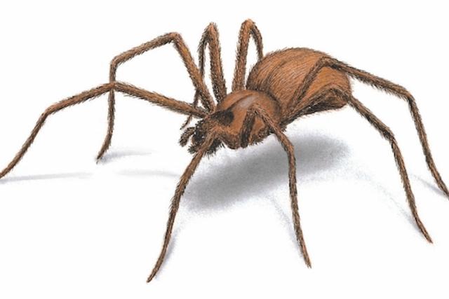 العنكبوت البني